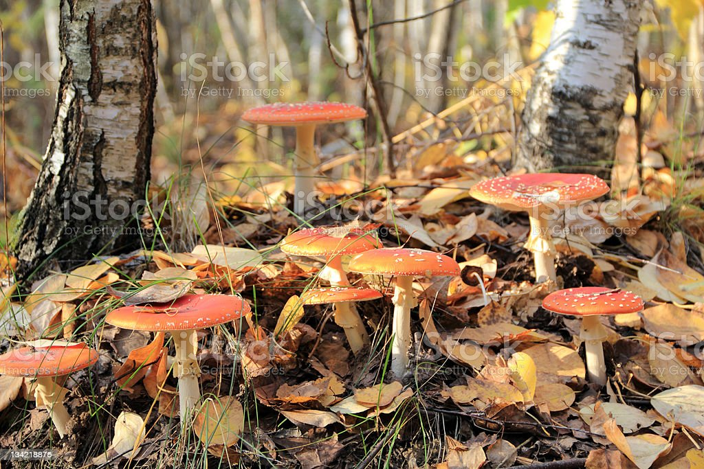 red fly agaric royalty-free stock photo