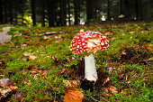 Red fly agaric with snails damage