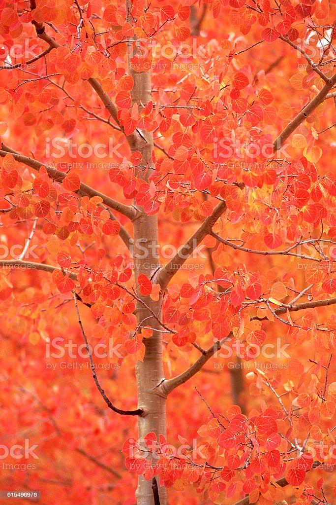 red foliage on aspen tree in autumn stock photo