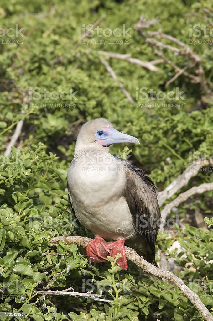 Red Footed Booby, Galapagos stock photo