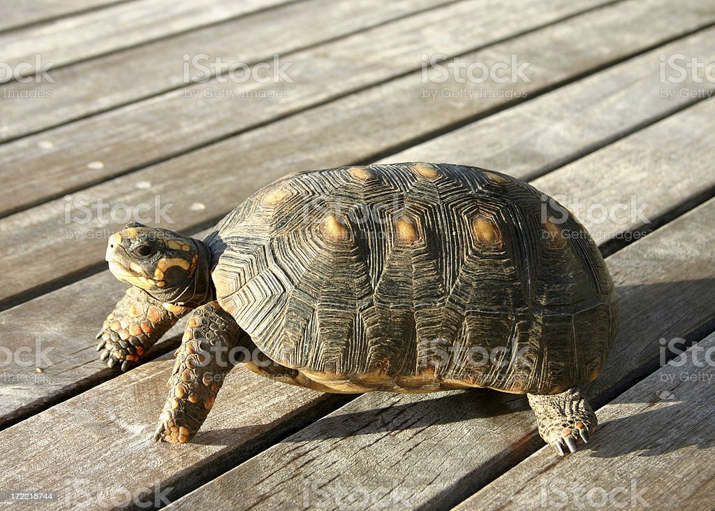 red footed tortoise stock photo