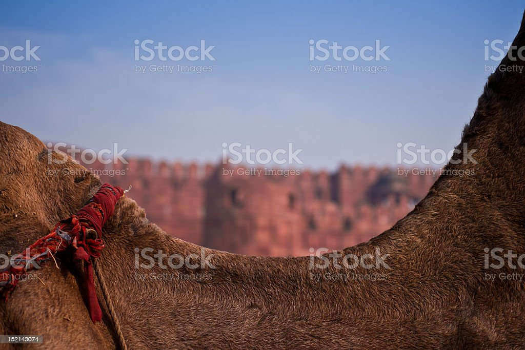 Red Fort over a Camel stock photo