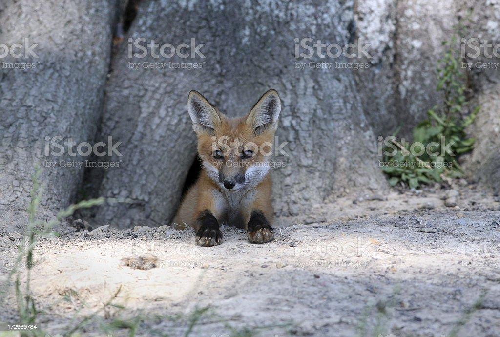 Red Fox 2 stock photo