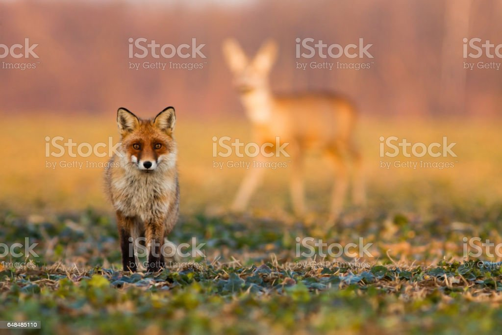 Red fox and Roe deer doe in background in sunlight stock photo