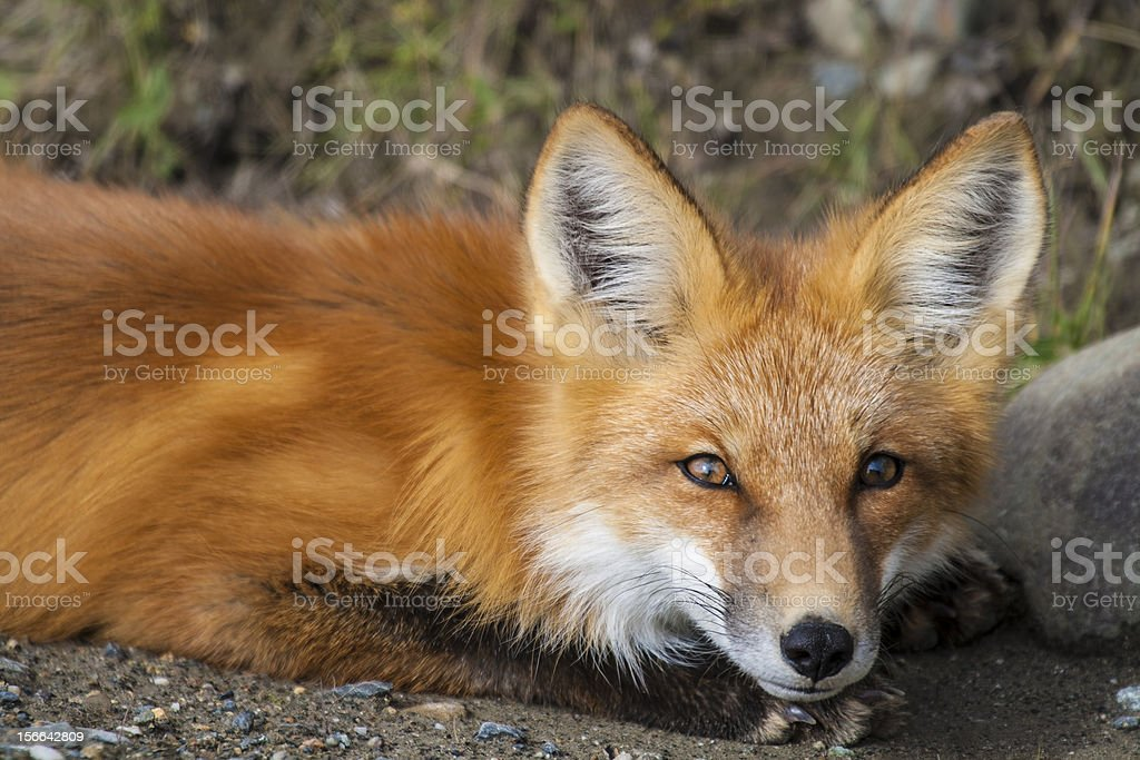 Red Fox at Rest (Vulpes Fulva) royalty-free stock photo