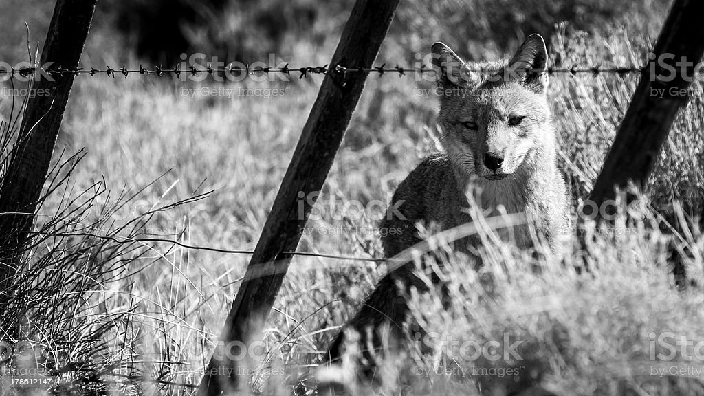 Red Fox behind wiring fece in south patagonia, argentina. royalty-free stock photo