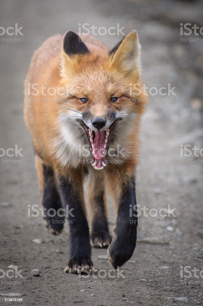 Red Fox Close Up In Portrait stock photo