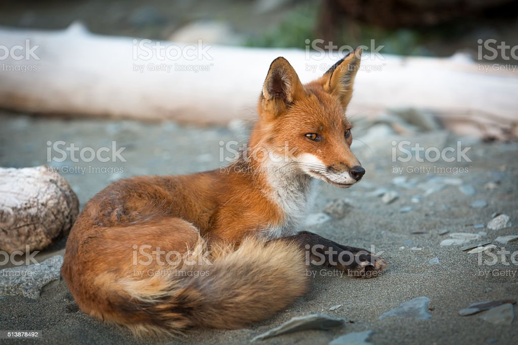 Red Fox Close Up on Remote Alaska Beach stock photo