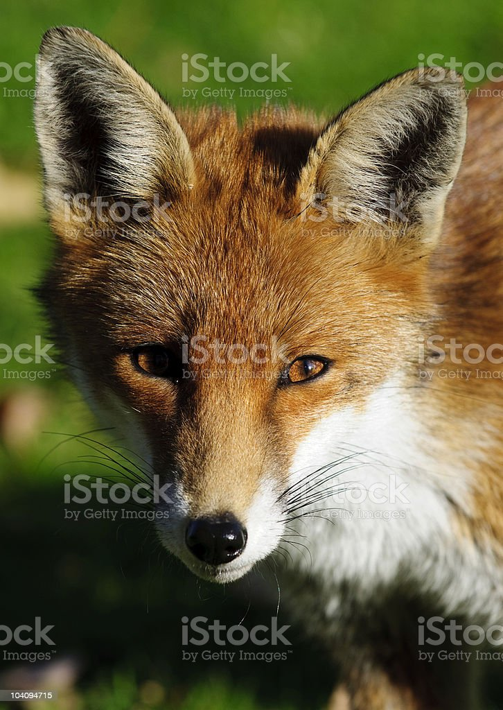 Red Fox closeup royalty-free stock photo