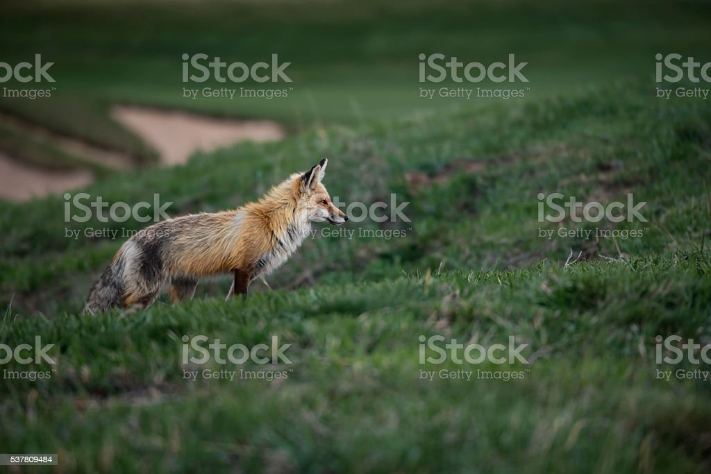 Red Fox Concentrating on a Possible Meal stock photo