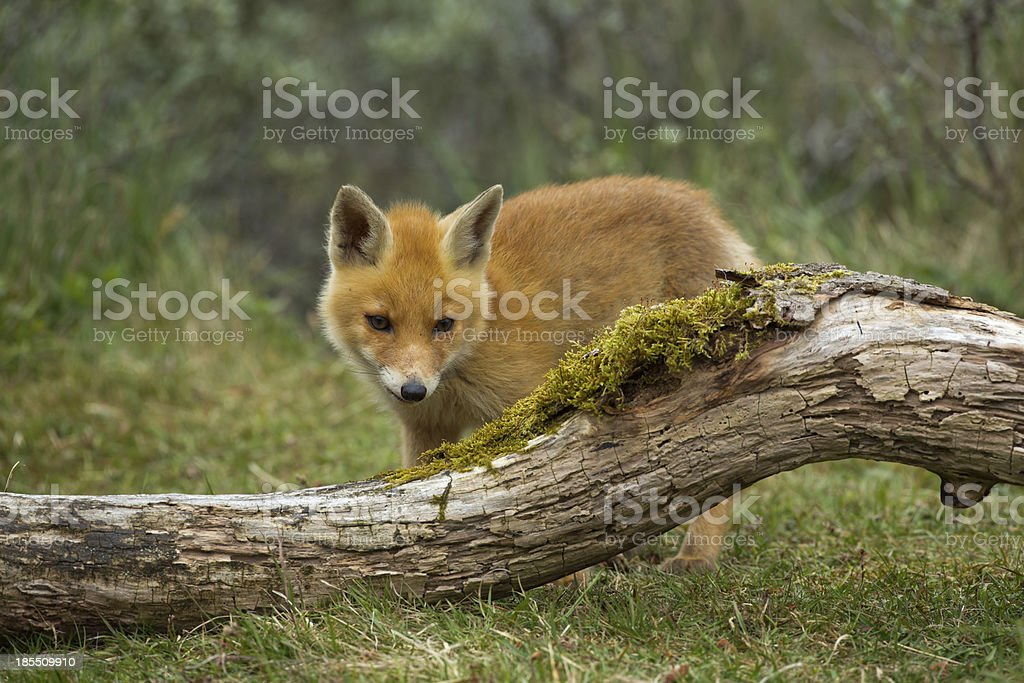 Red Fox Cub royalty-free stock photo