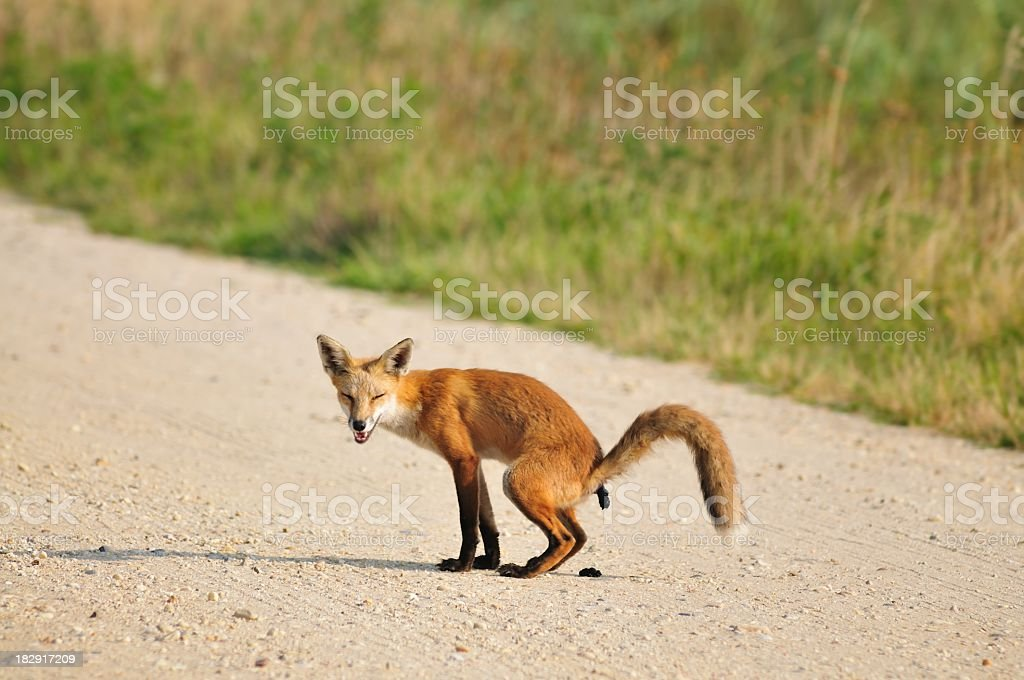 Red Fox Defecating On Gravel Road stock photo
