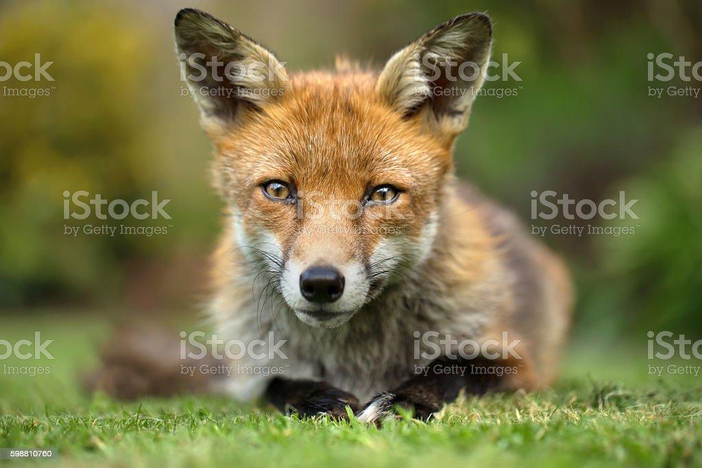 Red fox eye contact stock photo