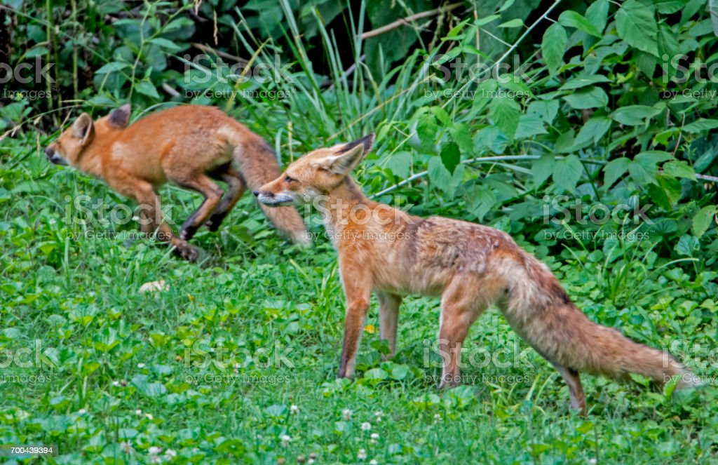Red Fox family playing in green grass. stock photo