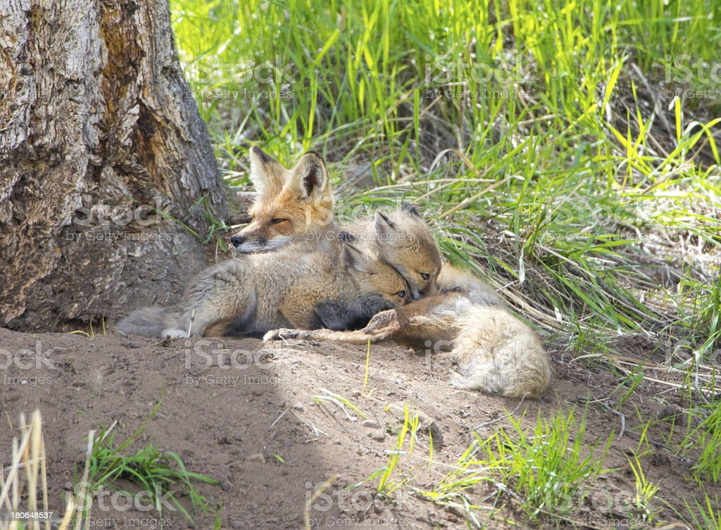 Red Fox Family - Yellowstone NP royalty-free stock photo