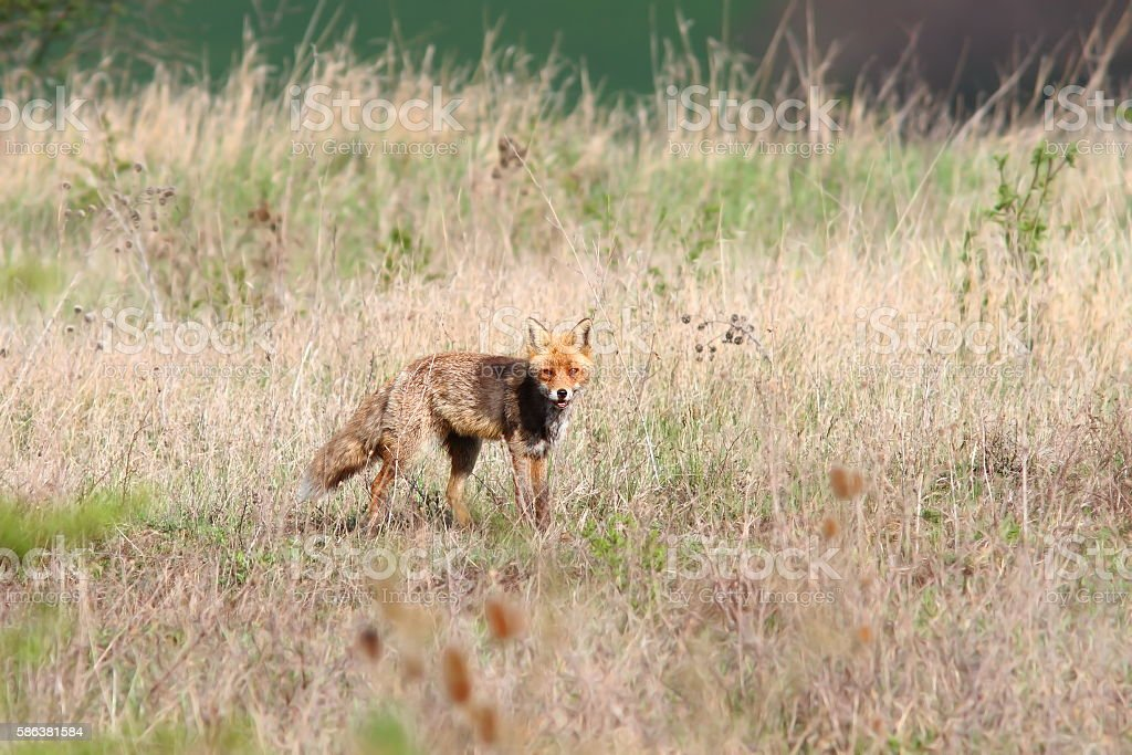 red fox in the field stock photo