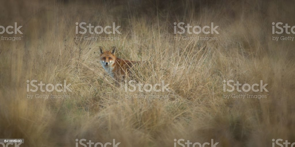 Red Fox in the grass stock photo