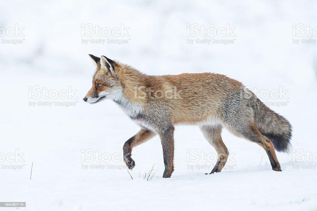 Red fox in wintertime stock photo