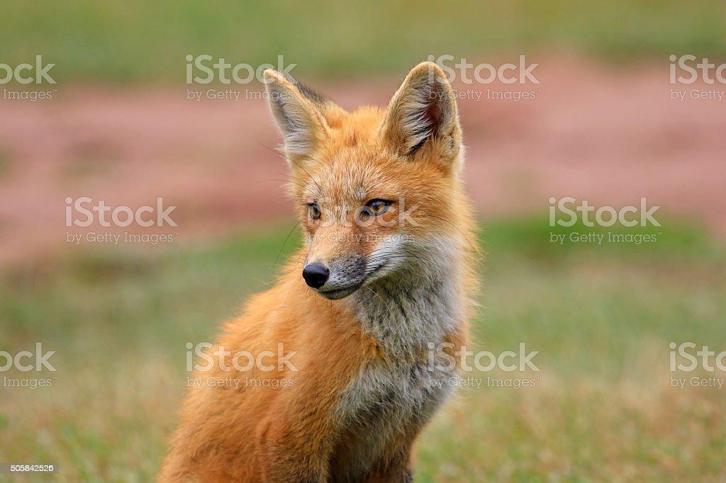 Red Fox Kit, Prince Edward Island, Canada stock photo