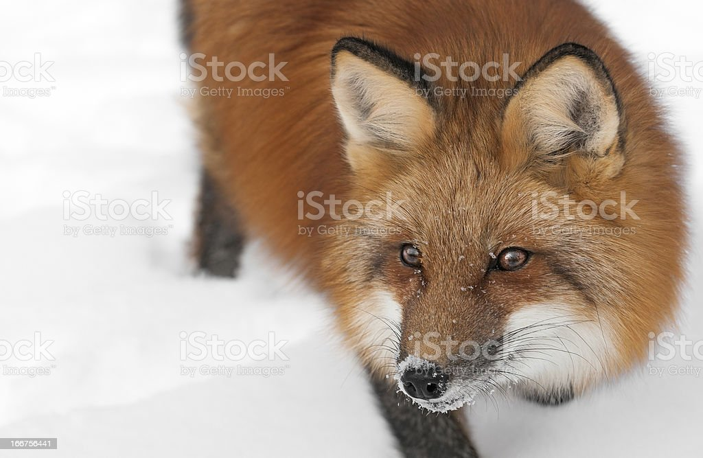 Red Fox Looks Left Close Up royalty-free stock photo