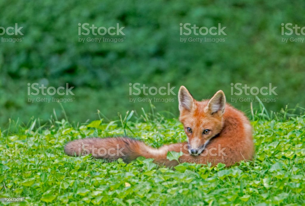 Red Fox lying in green leaves looking over his shoulder. stock photo