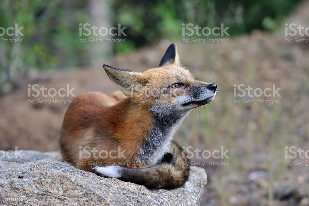 Red Fox Lying on a Rock stock photo