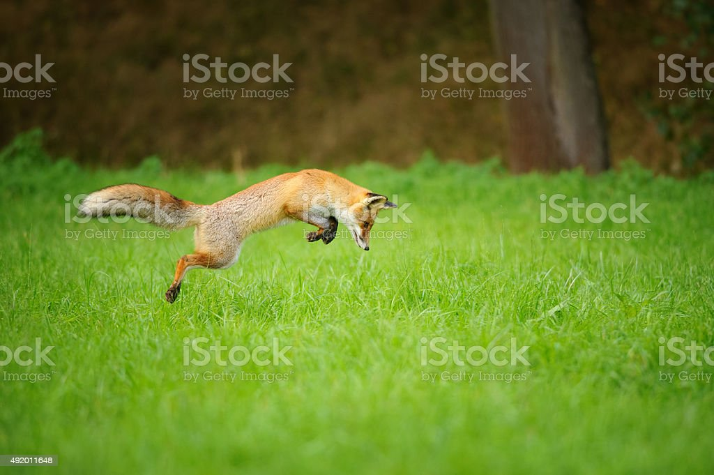 Red fox on hunt, mousing in grass field stock photo