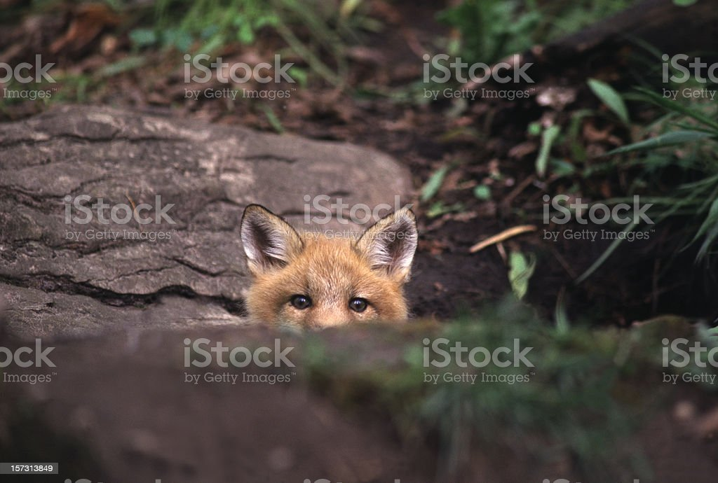 Red fox peeking over rock in the forest stock photo