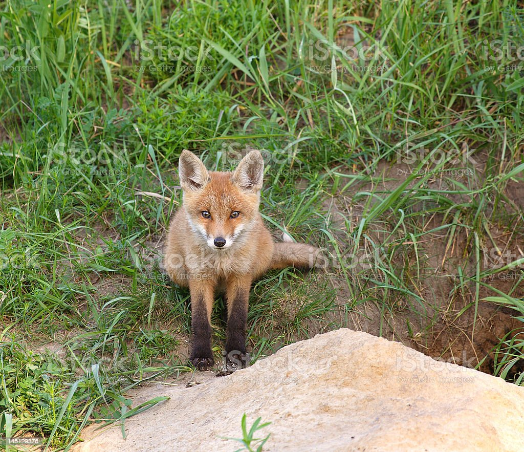Red Fox royalty-free stock photo