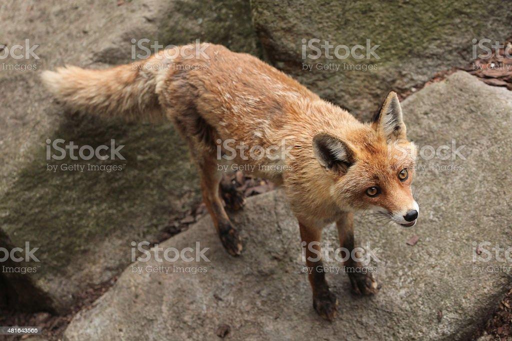 Red fox (Vulpes vulpes). stock photo