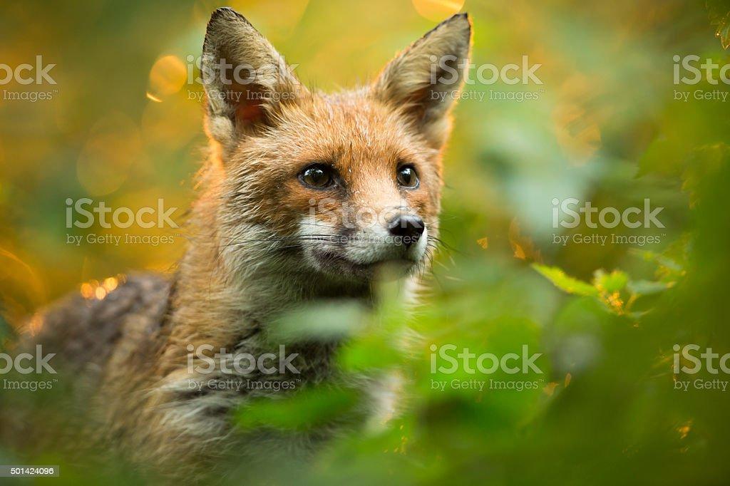 Red fox,.
