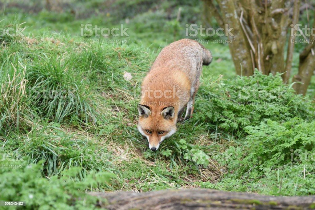 Red Fox stock photo