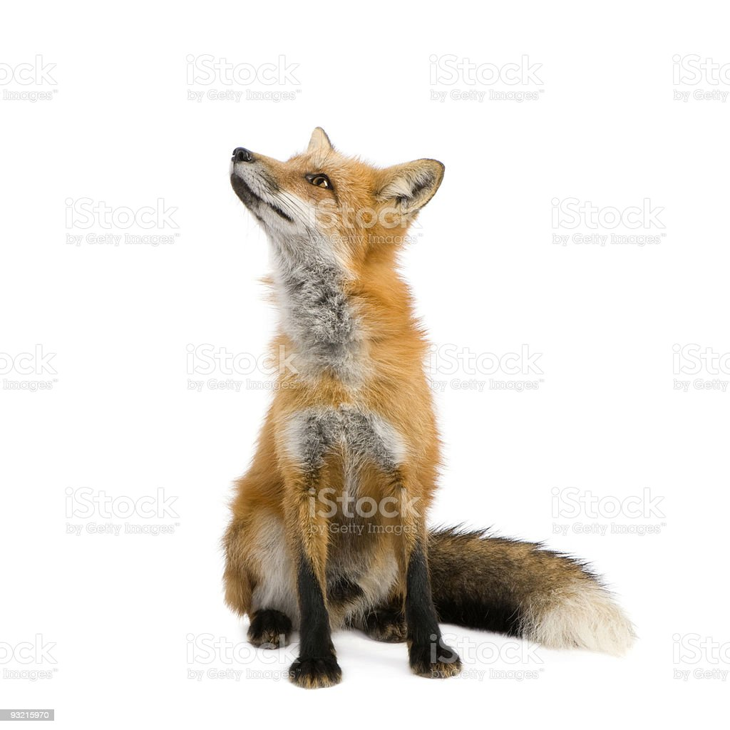 Red fox (4 years) stock photo