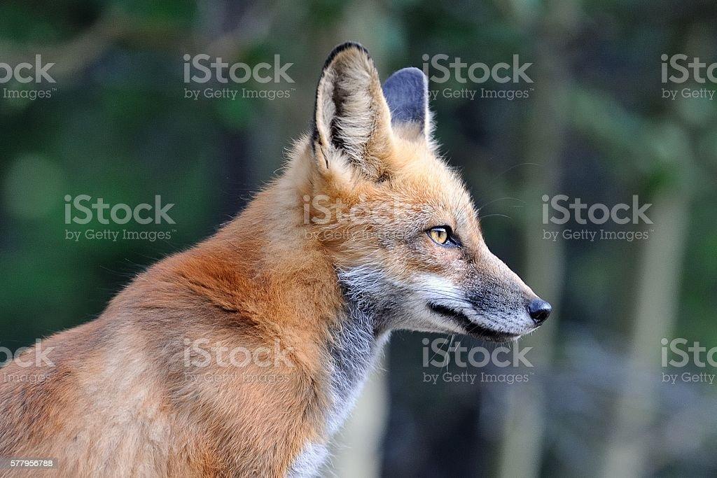 Red Fox Portrait stock photo