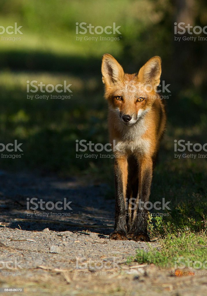 Red fox pup stock photo