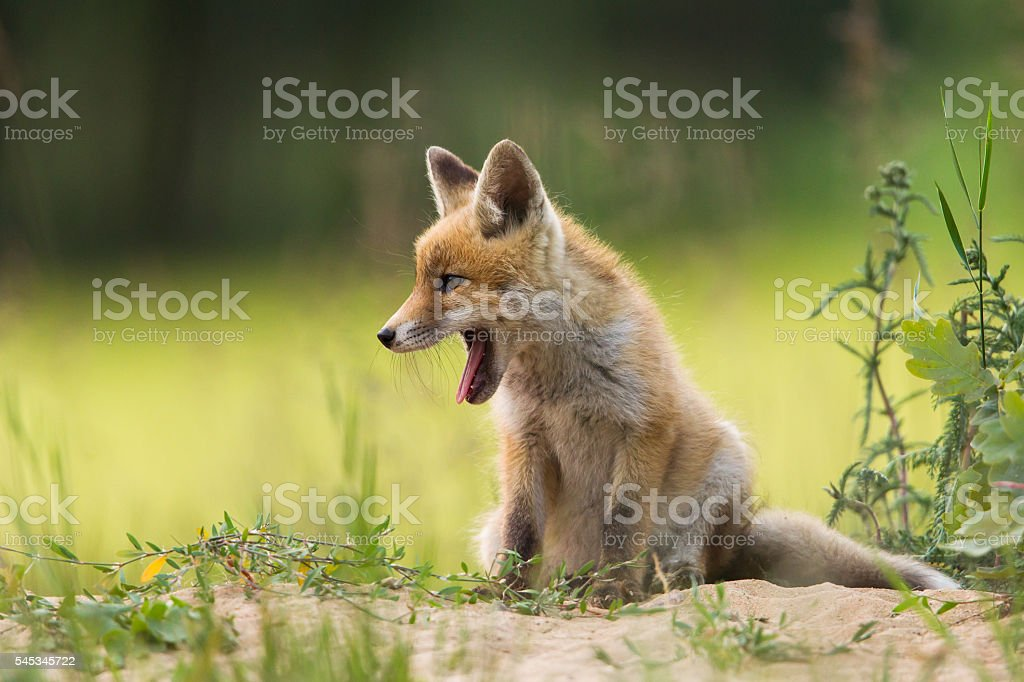 Red fox pups stock photo