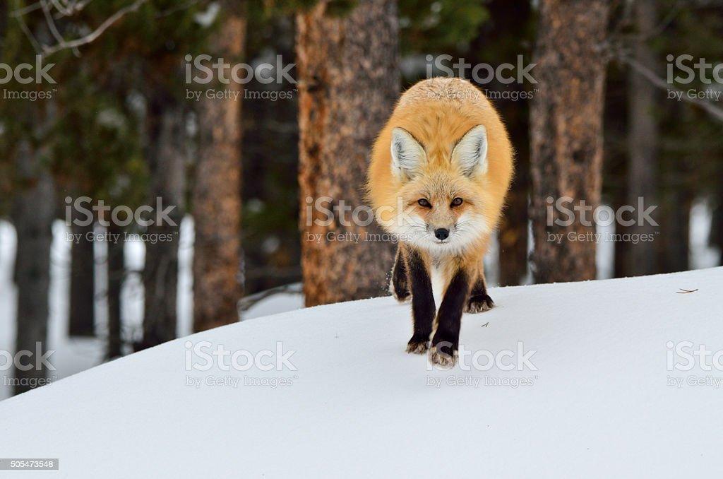 Red Fox Running stock photo
