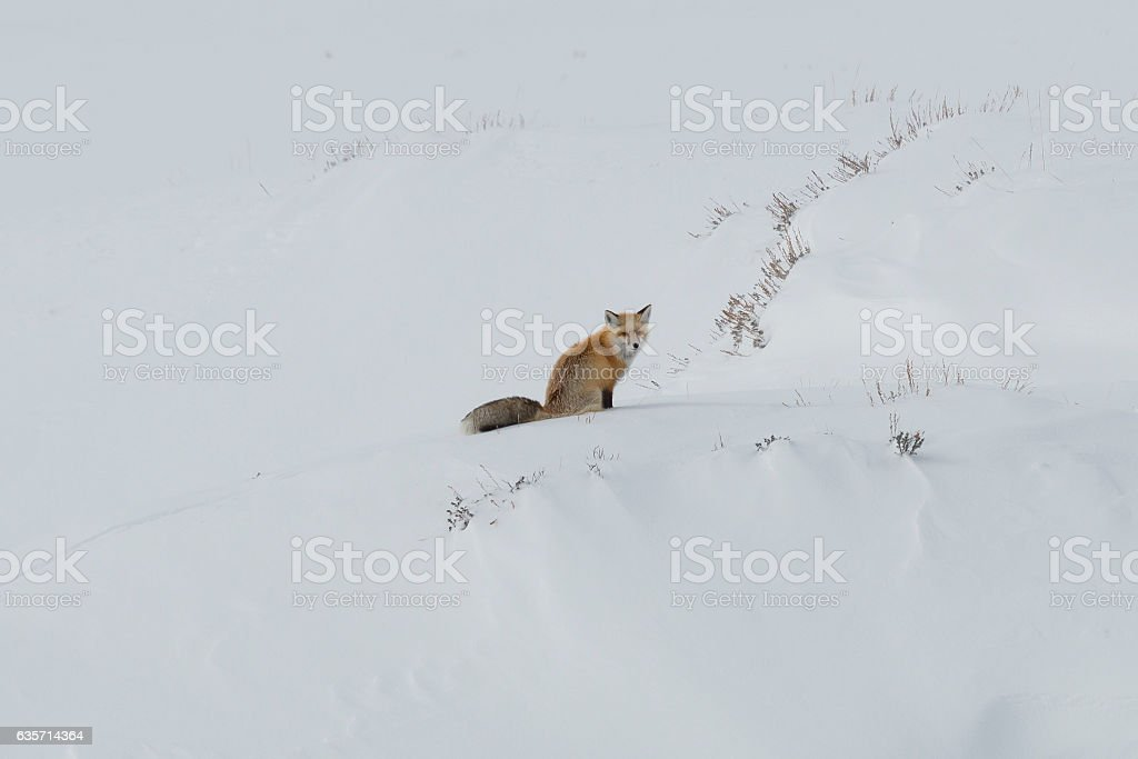 Red fox sitting in the snow in Yellowstone National Park. stock photo