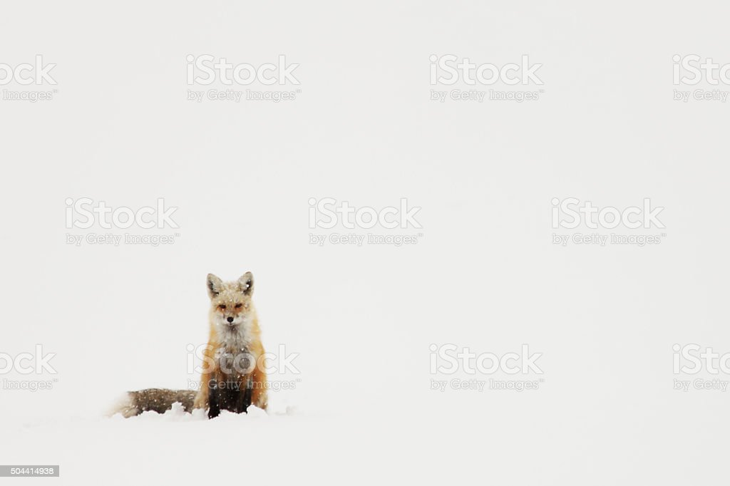 Red Fox Sitting in the Snow stock photo