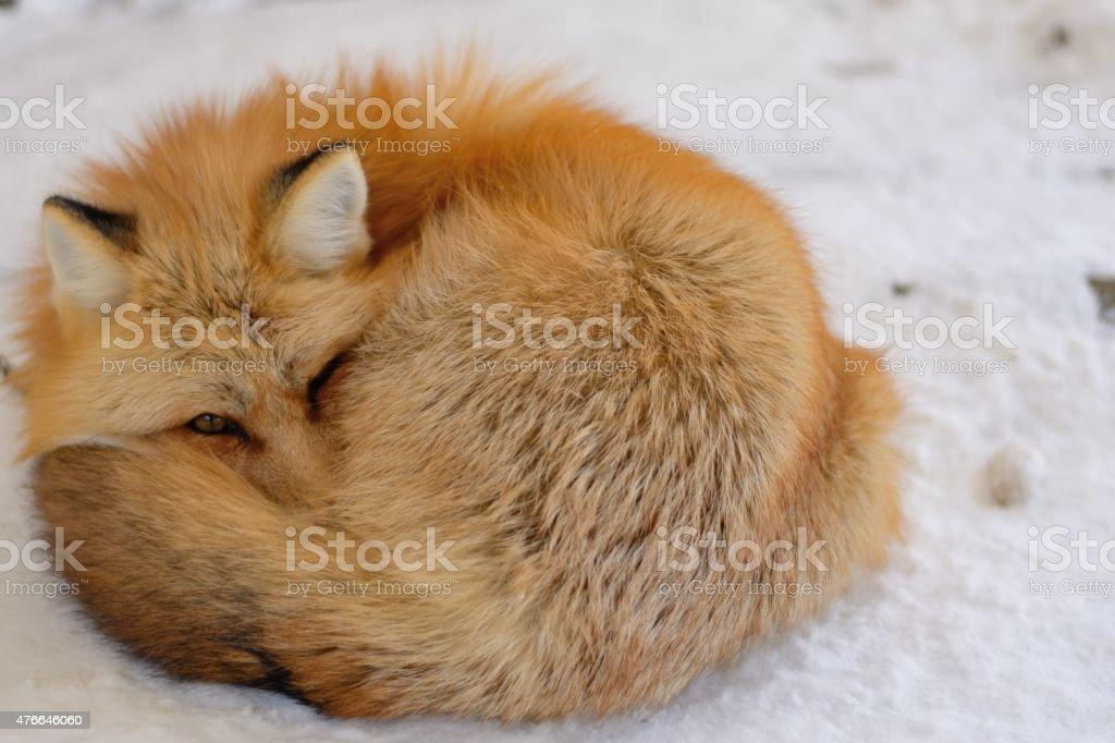 Red fox sleeping stock photo