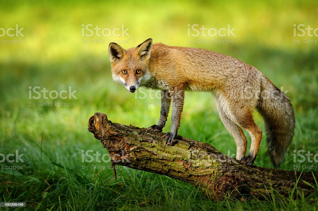 Red fox standing on tree trunk stock photo