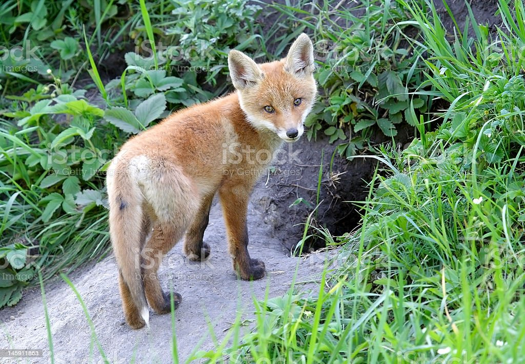 Red fox staring royalty-free stock photo