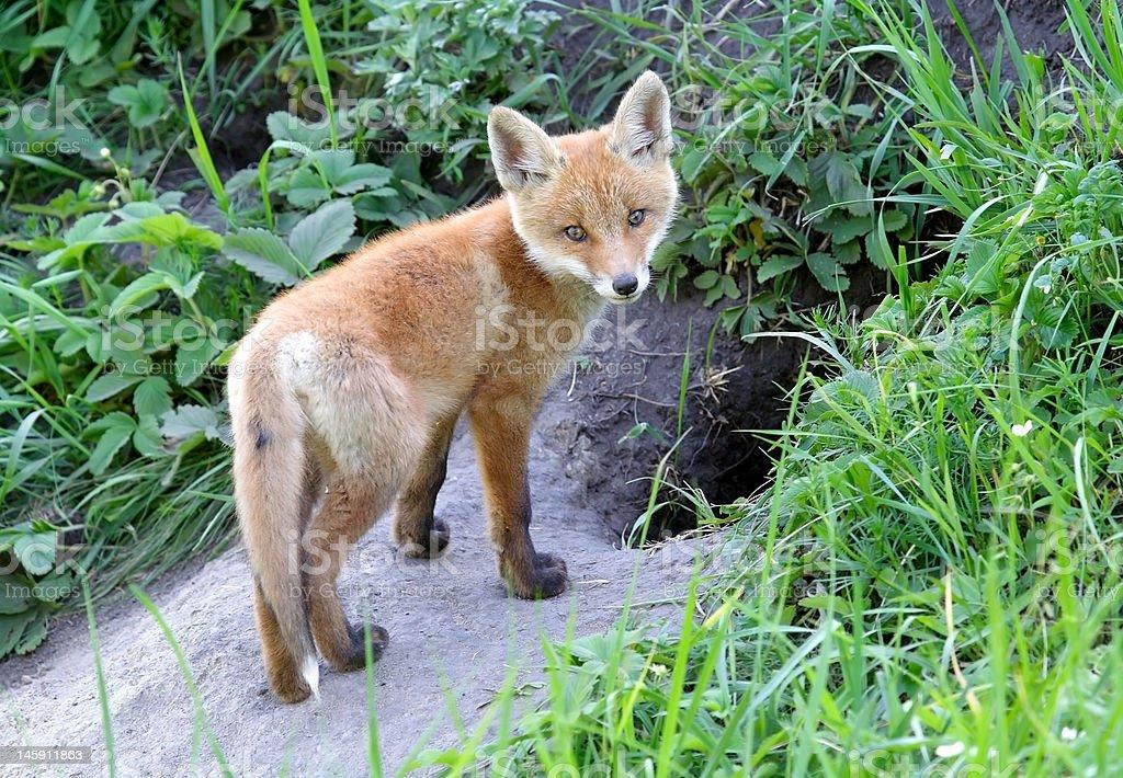 Red fox staring stock photo