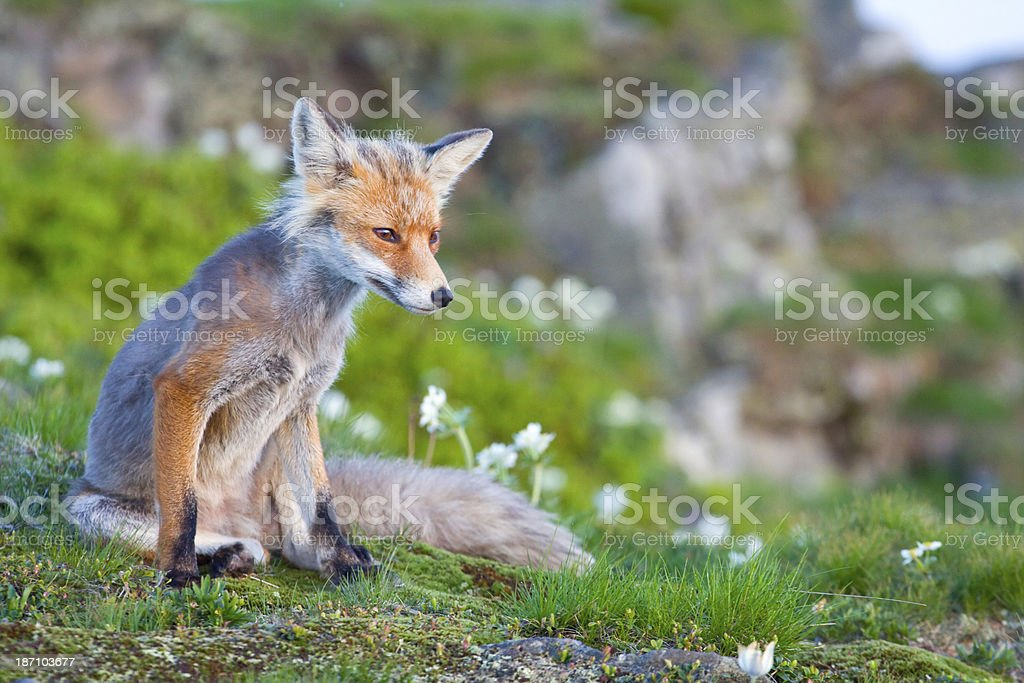 Red fox, sunrise, Babia Gora, Poland royalty-free stock photo