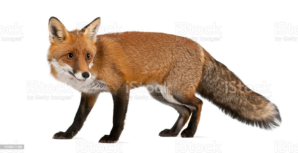 Red fox, Vulpes vulpes, 4 years old, walking stock photo