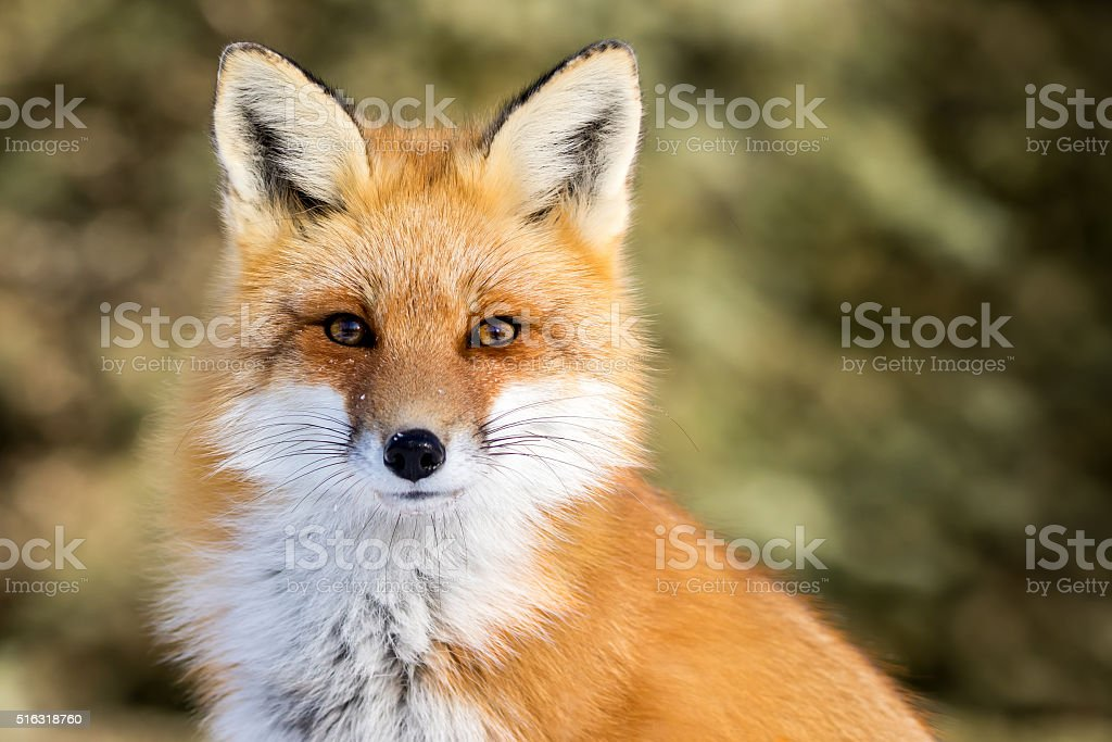Red Fox - Vulpes vulpes stock photo