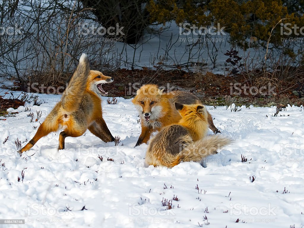 Red Foxes Fighting - Playing in Snow stock photo