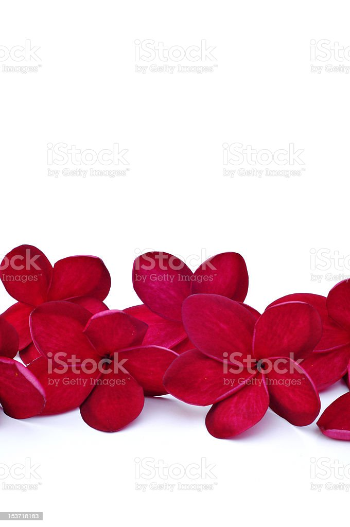 Red Frangipani royalty-free stock photo