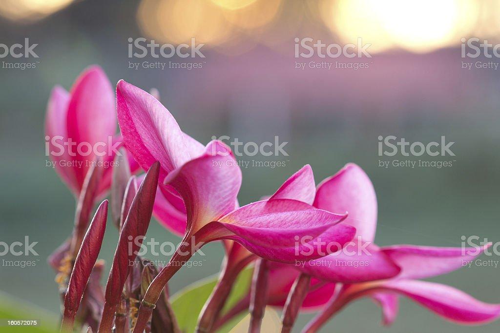 Red frangipanis royalty-free stock photo