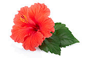 Red fresh Hibiscus flower